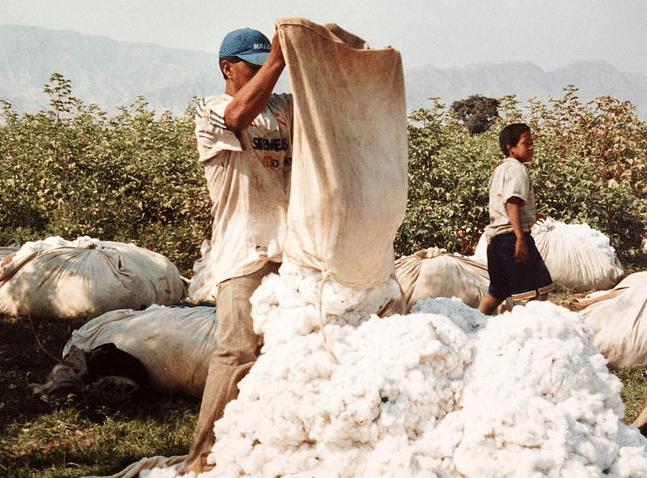culture du coton
