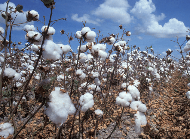 plantation de coton