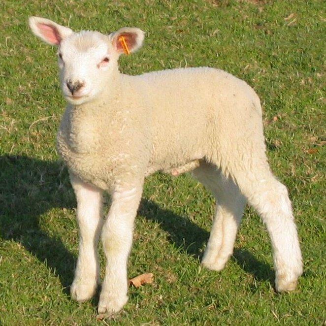 lambswool