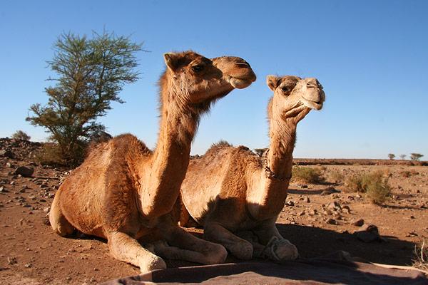 laine chameau