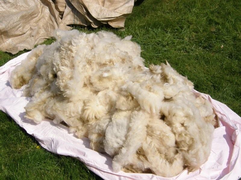 laine après tonte
