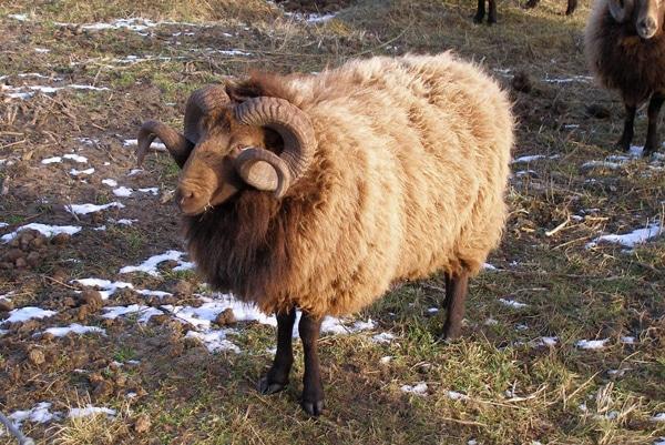 mouton shetland laine