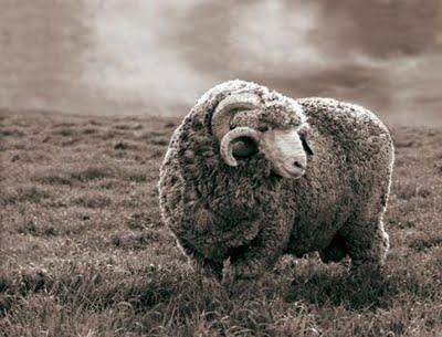 La laine, une affaire de bêtes a115999f105