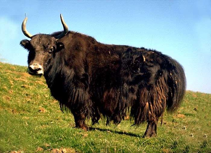 laine yack
