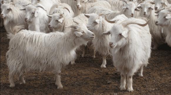 cachemire goat